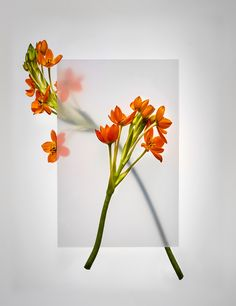 """""""Obscured"""" Still life Photography : Josh Caudwell Flowers : Yan Skates"""