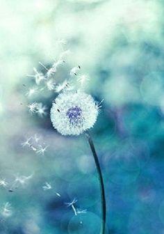barbarasangi --https://www.etsy.com/listing/130967931/dandelion-photography-botanical-print