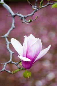 Pink Magnolia Blossom by Oscar Gutierrez