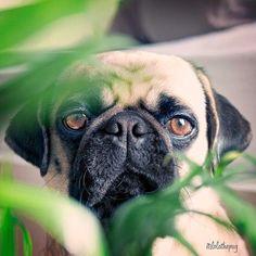 Pug sneaking through the foliage.