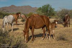 Salt River wild horses in Arizona - ExplorationVacation.net