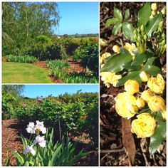 The rose garden and Irises are beginning to burst into life at Mulberry Lodge. Willunga, Fleurieu Peninsula, South Australia