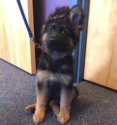 Miniature police dog in training