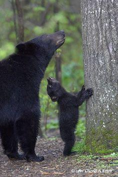 Wild baby animals ~ Dreamy Nature - mama bear and cub Nature Animals, Animals And Pets, Wild Animals, Wildlife Nature, Beautiful Creatures, Animals Beautiful, Animals Amazing, Cute Baby Animals, Funny Animals