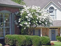 crepe myrtles | These last two photos are in the lovely front yard across the street ...