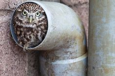 the owl making its home in a drainpipe, photo by Ann Toon, UK