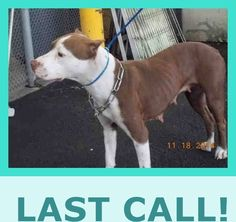 SAFE --- TARA (A1660980) I am a female red and white Terrier mix.  The shelter staff think I am about 1 year and 6 months old and I weigh 44 pounds.  I was confiscated and I may be available for adoption. — hier: Miami Dade County Animal Services. https://www.facebook.com/urgentdogsofmiami/photos/pb.191859757515102.-2207520000.1422192644./916406741727063/?type=3&theater