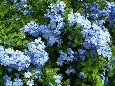 Blue plumbago - great for dry spells