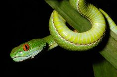 Ruby-eyed green pit viper discovered in southern Vietnam by Jeremy Holden via National Geographic