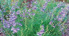 Penstemon heterophyllus 'Margarita B.O.P.'  - Santa Margarita foothill penstemon. California native plant; flowers are golden yellow as buds, bright blue as blooms, then change to purple-pink; unlike many California native penstemons, it thrives in garden conditions.