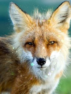 This is a cute Red Fox!!