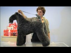 PELUQUERIA CANINA  - GROOMING - KERRY BLUE TERRIER