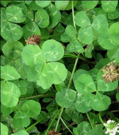 Spring was my favorite season as a child and I loved to sit in a clover patch to look for 4 leaf clovers and to make necklaces. We also made necklaces out of pine needles.
