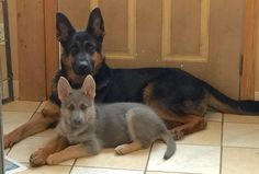 Blue powder German shepherds.