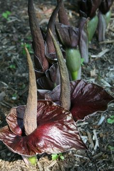 Amorphophallus henryi 				(Henry's Voodoo Lily)