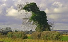 A Norfolk walker snapped this tree which has been turning heads because it looks exactly like a T-Rex. The tree, which is covered in winter ivy, is shaped like a pre-historic dinosaur, complete with eyes, mouth and a spiky back. Norfolk England, Spiegel Online, Weird News, Ivy Leaf, Tree Shapes, Tree Forest, Great Shots, Topiary, Tree Art
