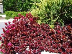 2 Dragons Blood Sedum in Trade Size Gallon Containers667 Gallons of Soil -- You can get additional details at the image link.