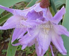 Flower bulbs pansy 2bulbs amaryllis seeds sementes de flores amaryllis bulbs case e jardim garden plantas Home &garden  gift