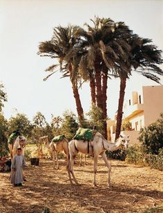 Camels for hire in Luxor - egypt