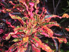 CORAL SHOWER This croton is a Henry Coppinger hybrid. Original name: Coppinger's Shower named Tropical Backyard Landscaping, Tropical Garden, Tropical Plants, Colorful Plants, Exotic Plants, Cool Plants, Crotons Plants, Foliage Plants, Garden Plants