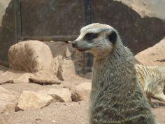 zuricata o suricata?