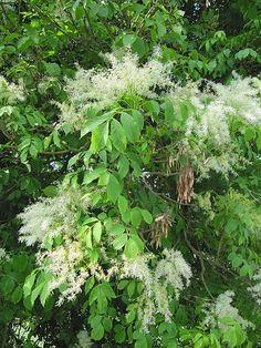 Tra le varie piante che possiedono proprietà curative e medicamentose ricordiamo il Frassino, nome botanico Fraxinus excelsior appartenente alla famiglia delle Oleacea.   Il Frassino è un albero