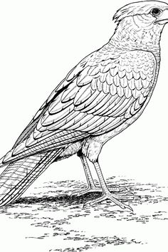find this pin and more on hawk falcon coloring pages