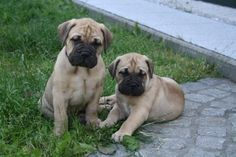 Bull Mastiff Pups.... Awe I will have one someday <3