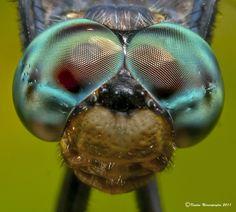 asquito