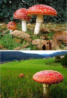 Fly Amanita (Amanita muscaria) – world's most famous mushroom