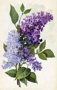 Beautiful & Fragrant Lilacs / unknown artist