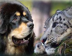 Abandoned Tibetan Mastiffs compete with snow leopards on the Tibetan Plateau. Modern Molosser  |  www.modernmolosser.com