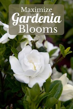 Glorious gardenias are one of our favorites. Here are some tips to coax even more blooms from your babies.  #southernliving #gardenias #moreblooms