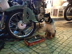 A #dog #mechanic in Ho Chi Minh City #Vietnam. Totally normal. He'll fix your bike if you give him a biscuit! Check out the story of my motorbike trip from Hanoi to Ho Chi Minh by clicking on the photo above! #travel #blog #backpacking