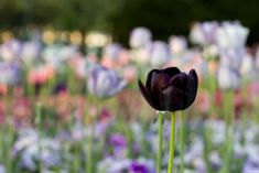 Most Beautiful Black Flowers with Pictures Black Tulip Flowers, Black Calla Lily, Black Rose Flower, Tall Flowers, Indoor Flowers, Flowers For You, Tulips Flowers, Types Of Flowers, Growing Flowers