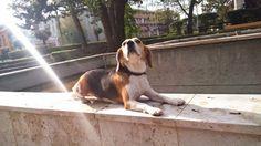Hubertus a beagle
