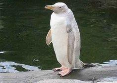 Rare white penguin.