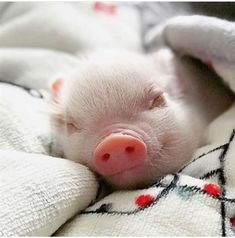 All you need to know about pets for kids smile in one place! Cute Baby Pigs, Cute Piglets, Baby Animals Super Cute, Cute Little Animals, Cute Funny Animals, Cute Dogs, Baby Animals Pictures, Cute Animal Photos, Teacup Pigs