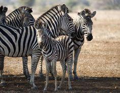 11-2015 25 Amazing Photos from Nat Geo WILD's 'Safari Live' | Mental Floss