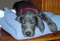 Blue Great Dane Puppy. I must have a great Dane from a rescue group one day. Awwwww.