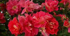 Diese Sortenempfehlung stellt schöne aber auch relativ robuste Rosen in den Vordergrund, die auch ohne besondere Pflanzenschutzmaßnahmen verwendet werden können.