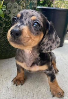 Funny Dachshund, Dachshund Puppies, Dachshund Love, Cute Dogs And Puppies, Baby Dogs, I Love Dogs, Pet Dogs, Dog Cat, Cutest Dogs