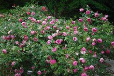Mrs. B.R. Cant (1901) Tea rose | Antique Roses Forum - GardenWeb