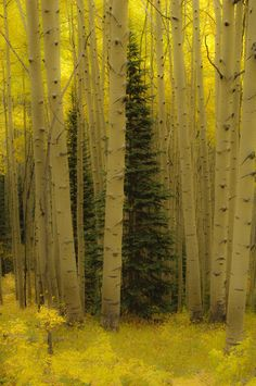 In an Aspen Forest, Colorado by Barbara Magnuson & Larry Kimball