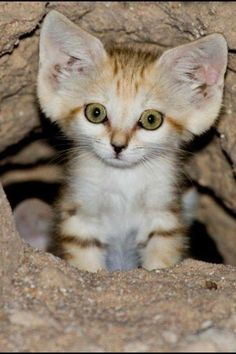 The Arabian Sand Cat