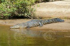 Salt water Crocodile Daintree River QLD
