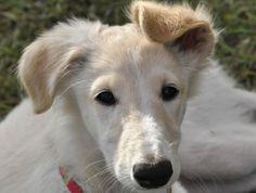 Silken Windhound Puppy