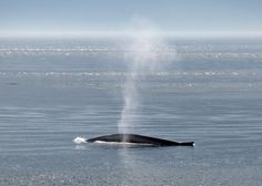 Baleine Bleue a la Parc Marin de Saguenay