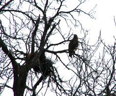 One of our red tail hawks-  watching the nest!