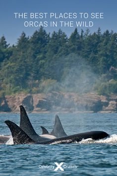 Is whale watching on your bucket list? Here are some of the best places to see Orcas in the wild. Packing List For Cruise, Cruise Travel, Places To Travel, Places To See, Clean Ocean, Alaskan Cruise, Cruise Destinations, Celebrity Cruises, Whale Watching